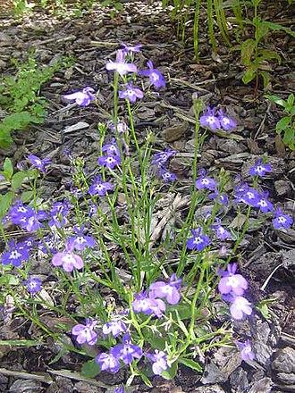 Lobelia - Erect Lobelia plant