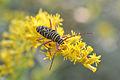 Locust Borer (Megacyllene robiniae) (14936741198).jpg