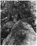 Loggers near felled spruce (3229240031).jpg