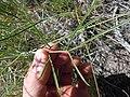 Lomatium triternatum (5396326338).jpg