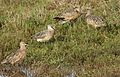 Long-billed curlew, Numenius americanus, Moss Landing (Elkhorn Slough and beach), California, USA. (30837223182).jpg