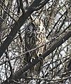 Long-eared Owl AMSM0082.jpg