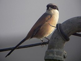 Long-tailed Shrike.jpg