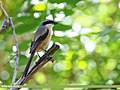 Long-tailed Shrike (Lanius schach) (35918281210).jpg