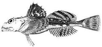 Sculpin - Myoxocephalus octodecemspinosus