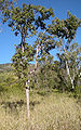 Lophostemon suaveolens tree.jpg