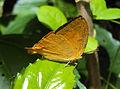 Loxura atymnus - Yamfly 24.JPG