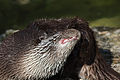 Lutra lutra Zoo Salzburg 20140330 09.jpg