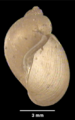 Lymnaea meridensis shell.png