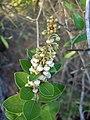 Lyonia fruticosa (2969176945).jpg