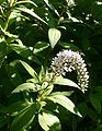 Lysimachia-clethroides-flowers.JPG