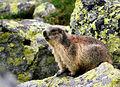 M.marmota latirostris in Veľká Studená dolina 3.jpg