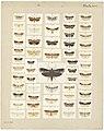 MA I437624 TePapa Plate-XXV-The-butterflies full.jpg