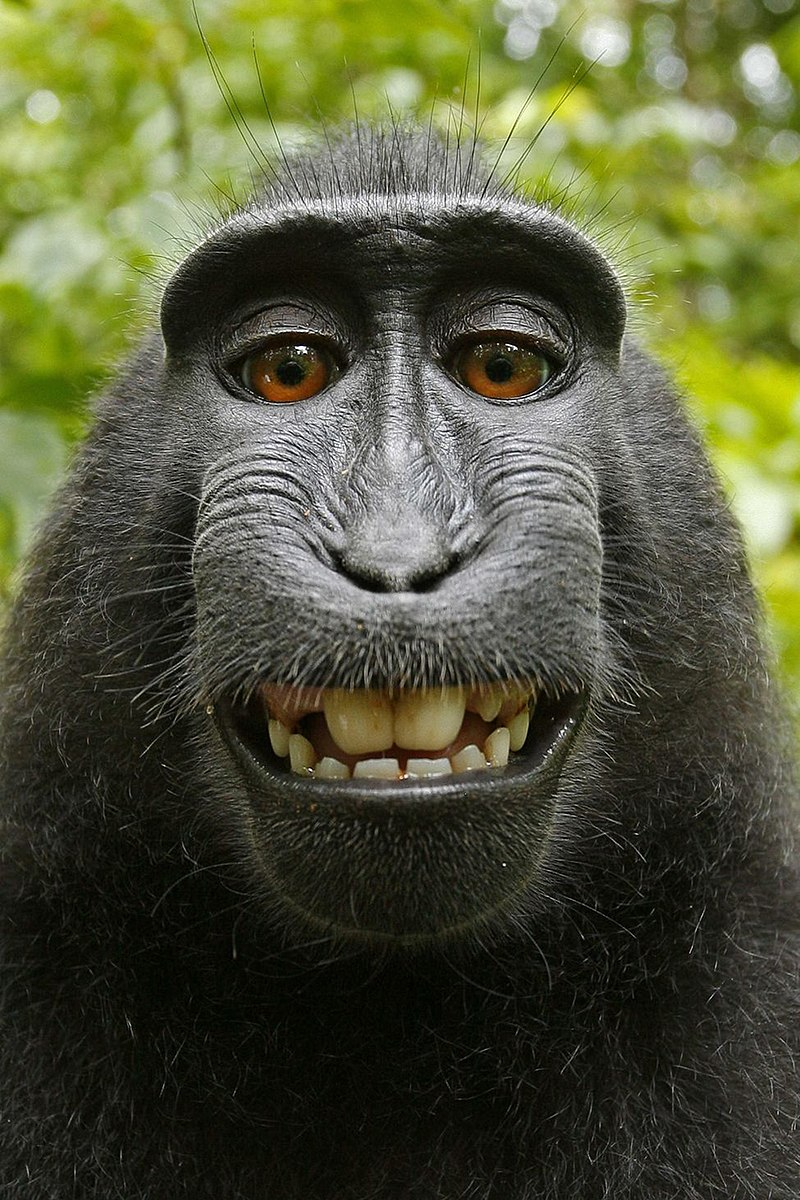 Selfie pris par un macaque noir des Célèbes ayant volé l'appareil du photographe David Slater.  (définition réelle 975×1463)