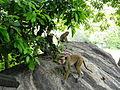 Macaca sinica in Dambulla 06.JPG