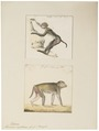 Macacus erythraeus - 1700-1880 - Print - Iconographia Zoologica - Special Collections University of Amsterdam - UBA01 IZ20000071.tif