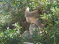 Macaque berbère à Ziama Mansouriah 3 (Algérie).jpg
