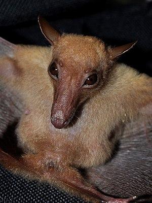 Macroglossinae (Chiroptera) - Macroglossus sobrinus