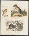 Macroscelides typicus - 1700-1880 - Print - Iconographia Zoologica - Special Collections University of Amsterdam - UBA01 IZ20900067.tif