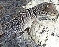 Madagascar spiny tailed iguana cropped.jpg
