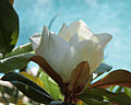 Magnolia grandiflora 3962.jpg
