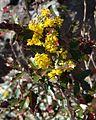 Mahonia aquifolium (Oregon Grapeholly) (26571848456).jpg