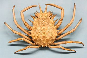 Reflection symmetry - Many animals, such as this spider crab Maja crispata, are bilaterally symmetric.