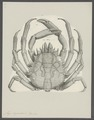 Maja squinado - - Print - Iconographia Zoologica - Special Collections University of Amsterdam - UBAINV0274 095 06 0004.tif