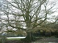 Majestic hedge bank beech (Fagus Sylvatica) - geograph.org.uk - 91536.jpg
