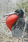 Male Frigate bird.jpg