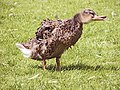 Mallard Duck at Finchingfield - geograph.org.uk - 661785.jpg