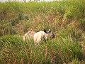 Mammal Rhino Kaziranga IMG 4676 01.jpg