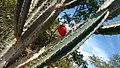 Mandacaru (Cereus jamacaru) 03.jpg