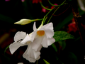 Mandevilla-white-flower.png
