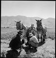 Manzanar Relocation Center, Manzanar, California. Cultivating cornfield on the farm project at this . . . - NARA - 538059.tif