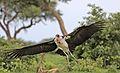 Marabou Stork, Leptoptilos crumeniferus, at the aptly named Marabou Pan, Savuti, Chobe National Park, Botswana (32406780960).jpg