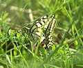 Mariposa desovando - butterfly laying eggs (249922284).jpg