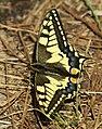 Mariposa rey 03 - papallona rei - papilio machaon (2428917641).jpg
