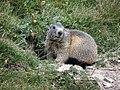 Marmotte dans le vallon de l'Alpet (Vars, Sainte-Marie) - panoramio.jpg
