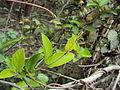 Marsdenia sylvestris 28.JPG