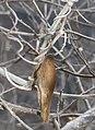 Marsdenia tomentosa (fruits s2).jpg