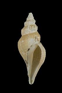 <i>Marshallena philippinarum</i> species of mollusc