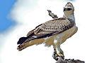 Martial eagle (Polemaetus bellicosus) juvenile (13816594703).jpg