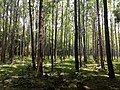 Masinagudi habitat Silver Oak Grevillea robusta IMG 20180505 124302288.jpg