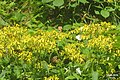 Meadow browns and Green-veined whites (NH Doly) (31720289270).jpg