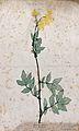Meadowsweet (Filipendula ulmaria); flowering stem. Colour na Wellcome V0043917.jpg