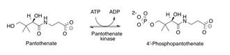Pantothenate kinase - Image: Mechanism os pantothenate kinase