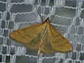 Mecyna flavalis (39032527570).jpg