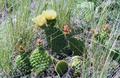Medicine Hat Cactus.png