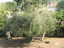 Melaleuca alternifolia (Maria Serena).jpg